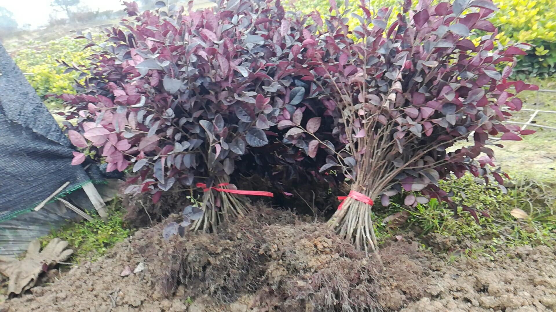 湖南红花继木批发报价 红花继木种植基地
