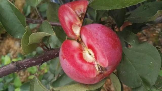 1公分红肉苹果苗价格表 山东红肉苹果苗多少钱一棵