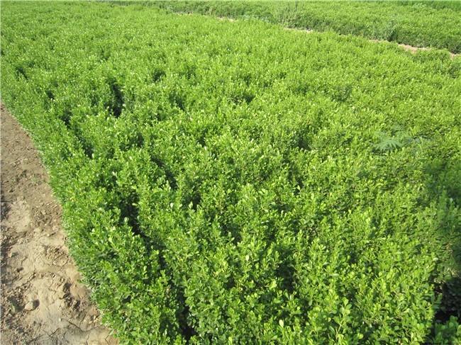 沭阳小叶黄杨基地 50公分小叶黄杨毛球价格