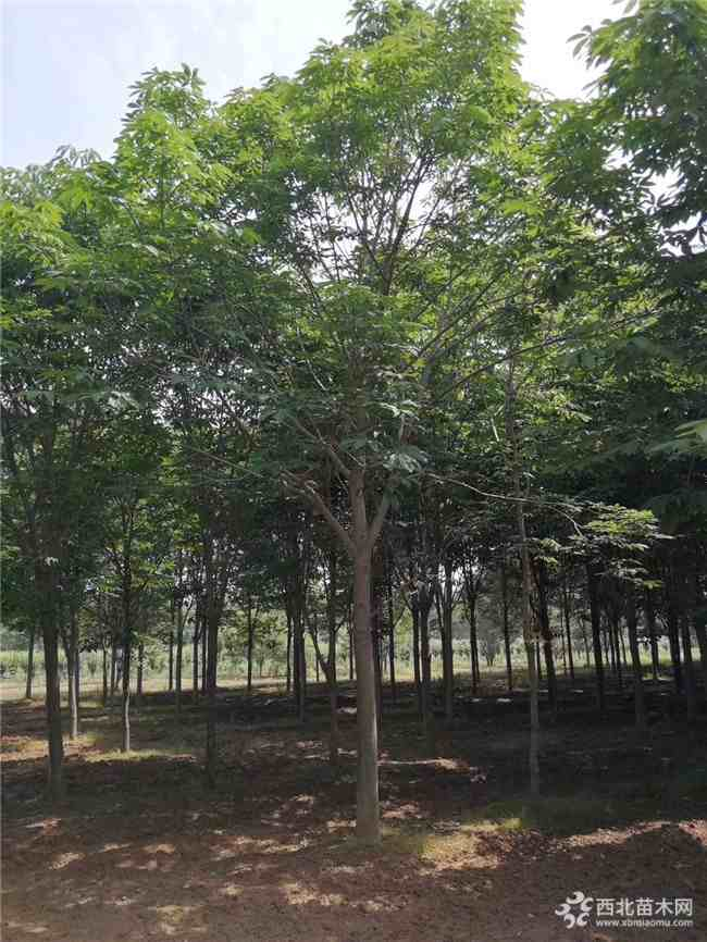 七叶树目前市场价格多少钱一棵
