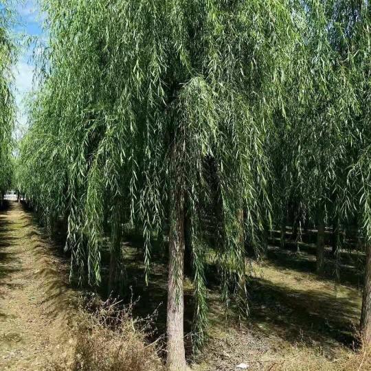 10公分垂柳 基地12-15公分垂柳树批发价格