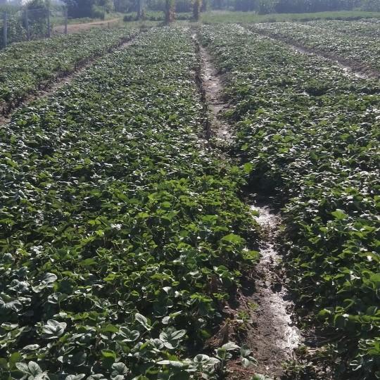 20公分草莓苗价格 基地直销