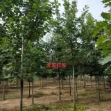 山东北美红栎价格   北美红栎基地   3公分北美红栎多少钱一棵