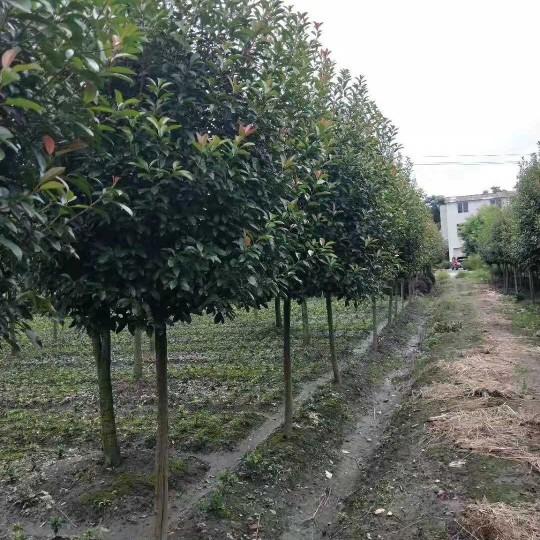 8公分高杆红叶石楠树 10公分红叶石楠基地批发价格