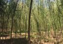 江蘇8公分垂柳報價 江蘇沭陽垂柳產地