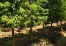 5公分落羽杉