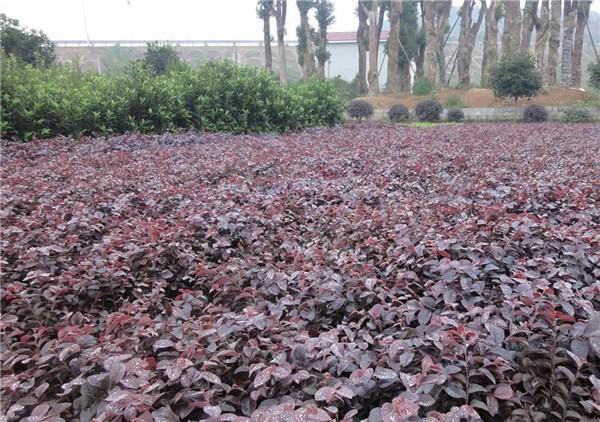 40公分红花继木产地价格