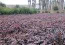 40公分紅花繼木產地價格