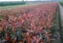 50公分紅葉石楠價格 江蘇紅葉石楠多少錢一棵