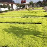 江苏佛甲草基地 屋顶专用绿化苗