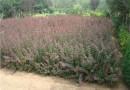 50公分紫葉小檗報價 紅葉小檗產地直銷
