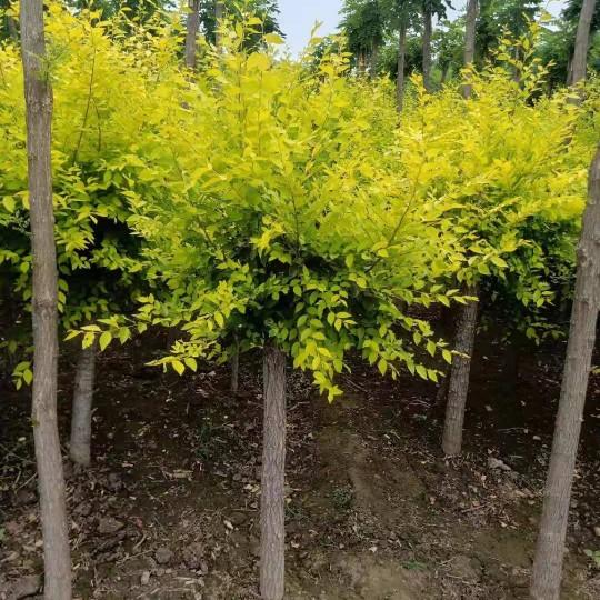 8公分矮杆金叶榆价格 矮杆金叶榆多少钱