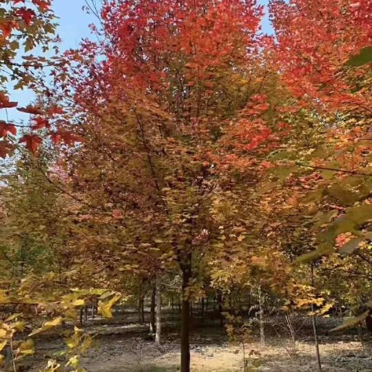 8公分美国红枫价格 10公分12公分美国红枫基地批发价格