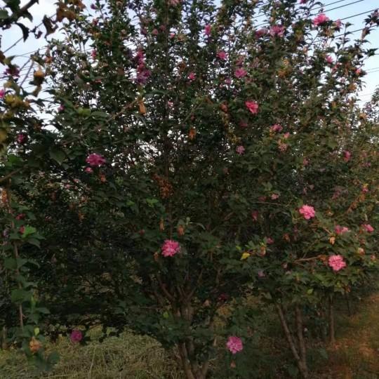 鄭州裕林苗木基地--供6-8公分木槿