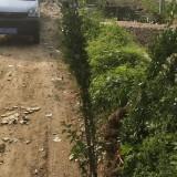 高1.8米北海道黃楊價格 江蘇北海道黃楊多少錢一棵