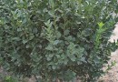 福建5公分木槿树