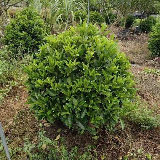 高1米/1.5米非洲茉莉批发价格 非洲茉莉多少钱一棵