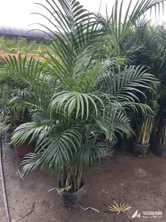 高1.5米散尾葵批发报价 福建散尾葵种植基地