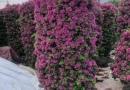 福建红花继木桩