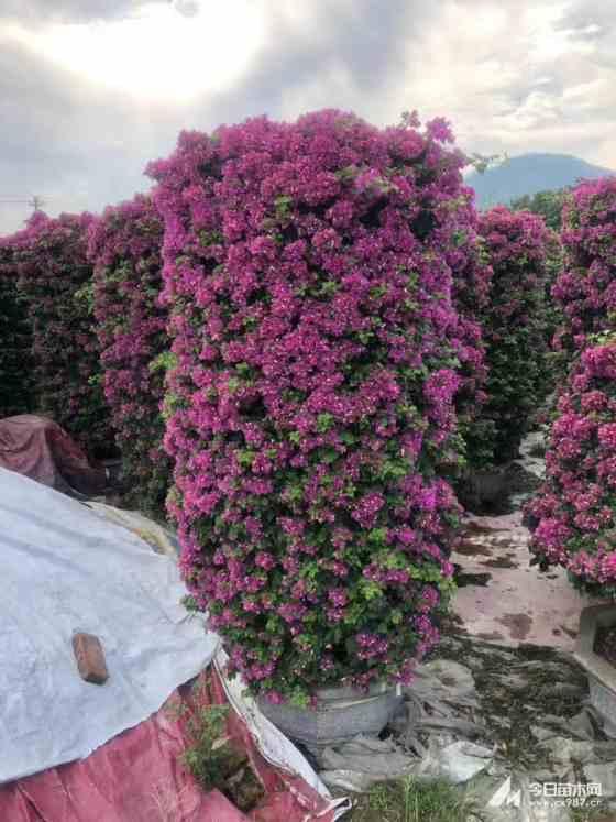 2.5米高紫花三角梅柱价格 福建三角梅基地
