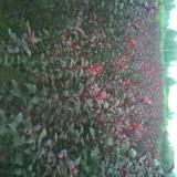 1.5米高紫葉李價格 基地供應