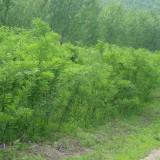 1米5高皂角树苗多少钱一棵