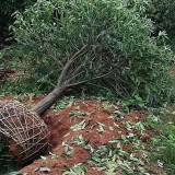 10公分菱角山礬價格 哪里有菱角山礬基地直銷