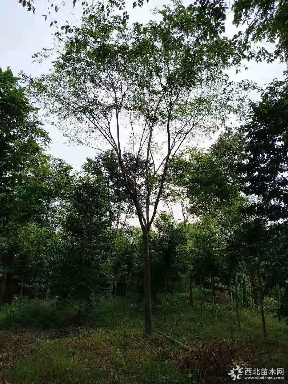 成都朴树20公分25公分价格 成都朴树质优价廉
