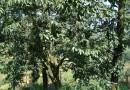 5公分柿子树苗多少钱 泰安基地量大优惠