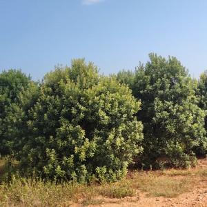 3米冠幅杨梅树价格 杨梅树销售基地