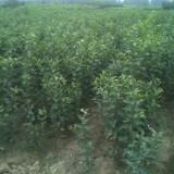 蘋果原生苗價格 泰安基地大量供應