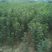 苹果原生苗价格 泰安基地大量供应