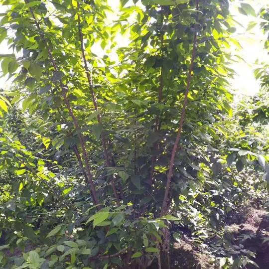 2米3米成都臘梅價格 叢生臘梅基地