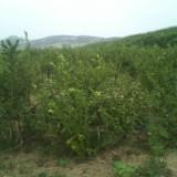 4年蓝莓苗多少钱 泰安基地价格
