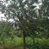 成都皂角树20公分25公分价格低农户直销