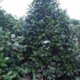 成都茶花球 1米2米独杆茶花5公分8公分价格低便宜