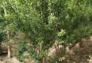 成都石榴花石榴果石榴 丛生石榴1.5米2.5米价格低