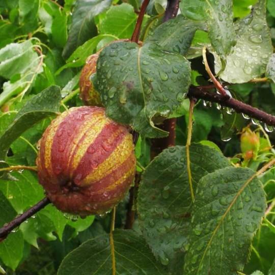 山东早酥红梨报价 1公分早酥红梨价格