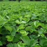 地徑1公分草莓苗價格行情 草莓苗價格