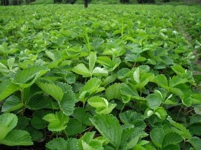 地径1公分草莓苗价格行情 草莓苗价格