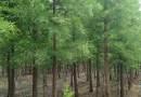 2公分水杉