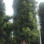 精品多杆丛生香樟容器苗,福建漳州移植多杆香樟