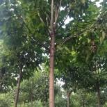 8公分楸树价格 哪里买楸树