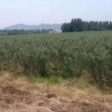 1公分蘋果苗價格 山東哪里有賣蘋果苗