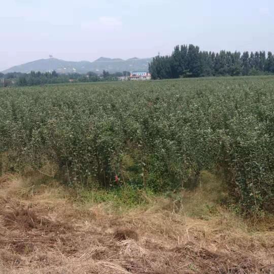 1公分苹果苗价格 山东哪里有卖苹果苗