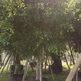 移植大榕树,白皮榕小苗, 福建小叶榕基地