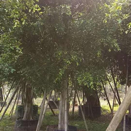 移植大榕树,白皮榕小苗, 福建澳门金沙赌场选基地