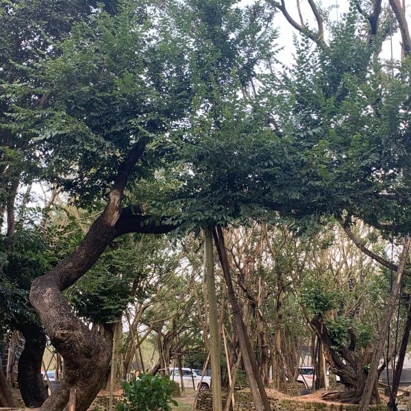 全冠移植造型景观大朴树,斜飘异形大朴树