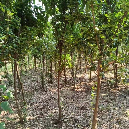 3公分北海道黄杨树批发价格 沭阳北海道黄杨树基地