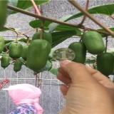 软枣猕猴桃苗培育基地 新品种猕猴桃树苗